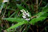 天門冬科植物:台灣鹿藥