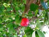西印度櫻桃:DSCN2136