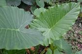 天南星科植物:姑婆芋