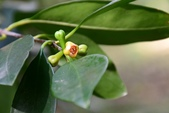 藤黃科植物:印度鳳果