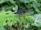 蜻蛉目:鼎脈蜻蜓
