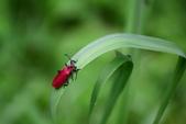 昆蟲篇...4:紅螢