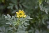 芸香科植物:芸香
