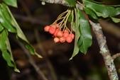 薔薇科植物:玉山假沙梨