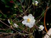 薔薇科植物:白鵑梅