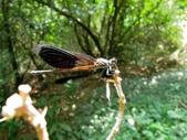蜻蛉目:短腹幽蟌