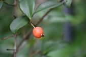 桃金孃科植物:單子蒲桃