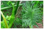 天南星科植物:羽裂蔓綠絨