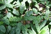 天南星科植物:粗肋草