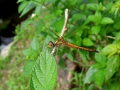 蜻蛉目:褐斑蜻蜓