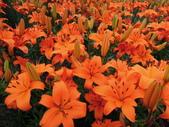百合花與孤挺花:香水百合