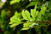 金縷梅科植物:尖葉水絲梨