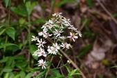 菊科植物:山白蘭