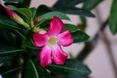 夾竹桃科植物  :沙漠玫瑰