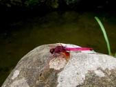 蜻蛉目:紫紅蜻蜓(雄)