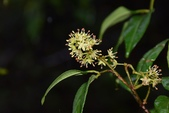 芸香科植物:飛龍掌血