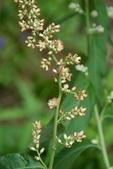 菊科植物:珍珠蒿