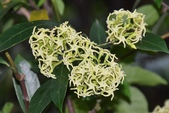 夾竹桃科植物  :小錦蘭