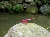 蜻蛉目:DSCN6571