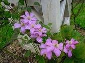 鐵線蓮 (園藝品種):