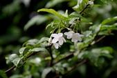 夾竹桃科植物  :水梅