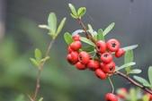 薔薇科植物: 台灣火刺木 (台東火刺木)
