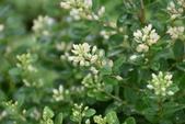 鼠李科植物:小葉黃鱔藤