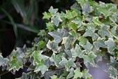五加科植物:斑葉常春藤