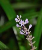 天門冬科植物:麥門冬