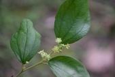 鼠李科植物:馬甲子