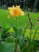 蕉科植物:大花美人蕉