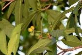 薔薇科植物:山枇杷 (台灣枇杷)