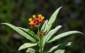 夾竹桃科植物  :尖尾鳳 (馬利筋)