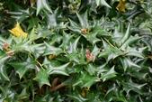 冬青科植物:枸骨