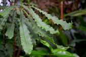 山龍眼科植物:澳洲胡桃