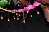薑科植物...2:DSC_0665