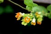 夾竹桃科植物  :夜香花