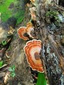 野生菇:DSCN7245