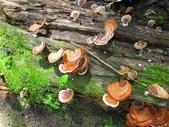 野生菇:相臨小孔菌