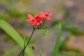 鳶尾科植物:拉培疏鳶尾 (姬檜扇菖蒲)