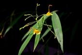 薑科植物...2:黃天鵝