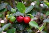 西印度櫻桃:DSC_0475