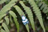 昆蟲篇...4:綠脈白斑蛾