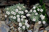 菊科植物:尼泊爾籟簫