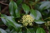 五加科植物:台灣常春藤