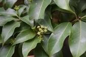 五加科植物:台灣樹參