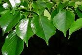 昆欄樹科植物: