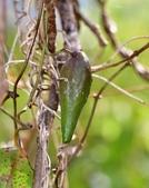 夾竹桃科植物  :台灣牛皮消