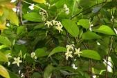 夾竹桃科植物  :舌瓣花