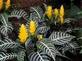 爵床科植物 :銀脈爵床(銀脈單藥花)